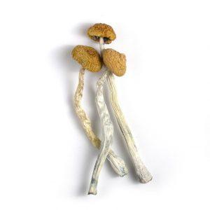Malabar Magic Mushrooms