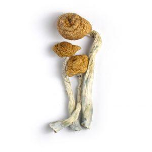 Mazatepec Cubensis Mushroom